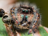 Black Jumping spider with shiny green mouth eats wasp covered in — Stock Photo