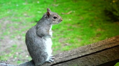Eastern gray squirrel eating seeds in the park St James in London, portrait shot. Green spring forest background, real time,4k,ultra hd — Stock Video