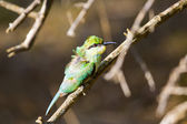 A Ruffled Green Bee Eater Sitting on a Perch. — Stock Photo