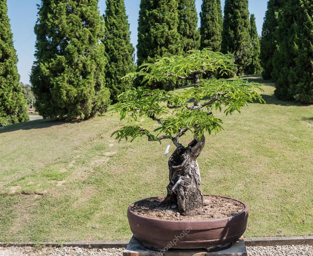 дерево тамаринд