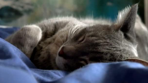Видео кот серый