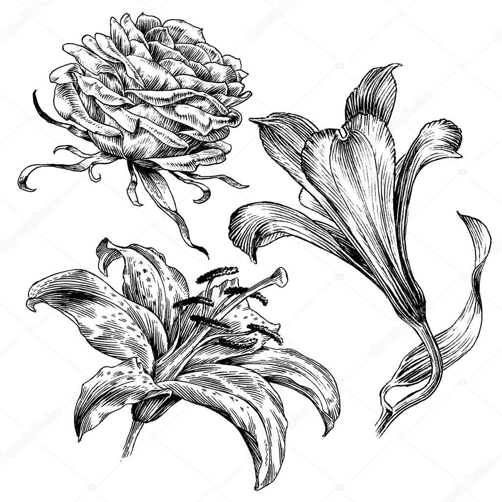 Flower Line Drawing Vintage : Ink drawings series vintage flower line art illustration