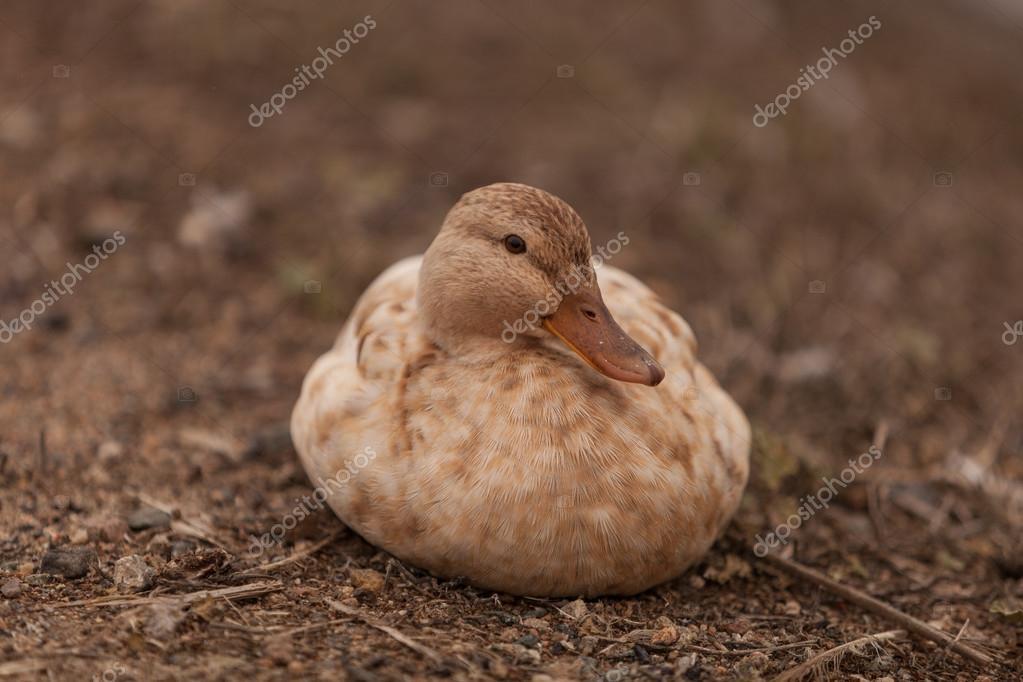 Крапчатая утка