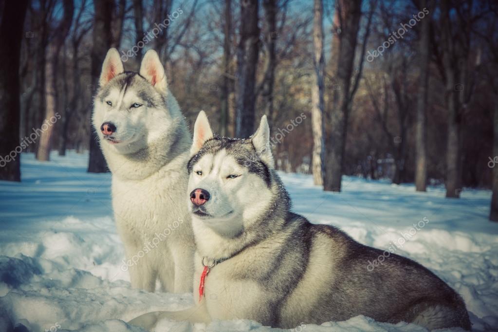 Гугл картинки зима хаски
