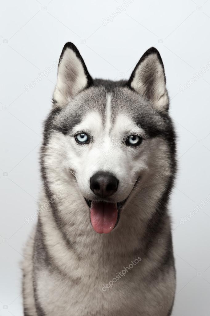 Adorabile bianco e nero con gli occhi azzurri husky colpo dello studio su sfondo grigio messo - Husky occhi diversi ...