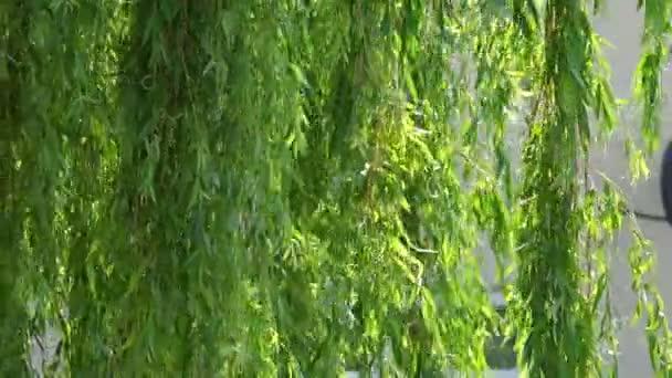 Rami verdi di un albero di salice piangente video stock for Rami di salice