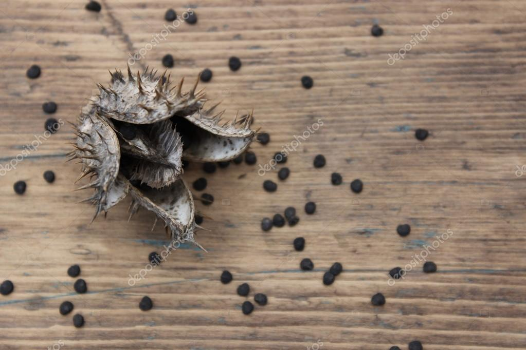 チョウセンアサガオの画像 p1_17