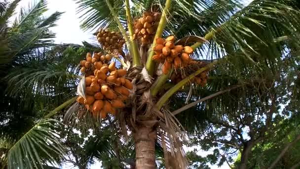 Palmier avec des noix de coco maldives vid o - Palmier noix de coco ...