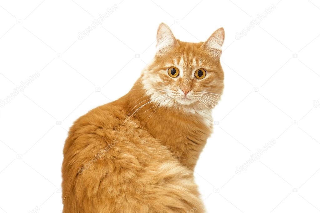 Кот рыжий удивлен