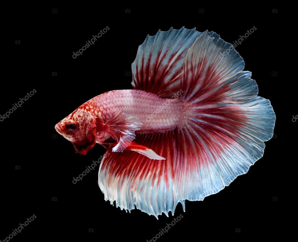 Siamesische kampffische betta fisch rosa stockfoto for Siamesische kampffische