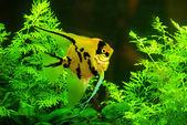 Ryby ve vodě akvária