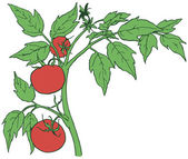 Bush tomatoes with three mature fruits Vector illustration