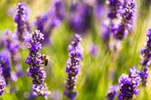 Nádherné levandulové pole Provence, Francie v červenci