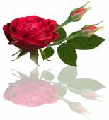 Illustration with single red rose flower with two buds isolated on white background