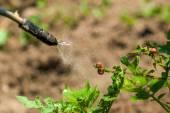 Postřik insekticidem na larvy chyby Mandelinka bramborová