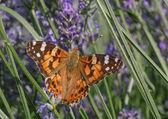 Motýl na květy levandule