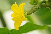 Gelbe Blume auf Gurke Eierstock