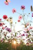 Cosmos flowers with blue sky and sunlight