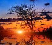 Leafless oak tree on sunset background