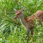 Постер, плакат: Sika Deer in grassland