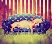 Un chihuahua carino posa su un divano tonica con un filtro di instagram vintage retrò