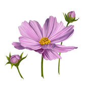 Cosmos flower  vector illustration  hand drawn  painted watercolor