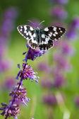 Motýl (Ivana hamata orientalis) na fialové wild flower