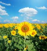 Sunflower field in the sunny day.