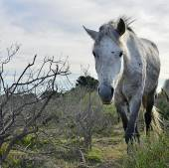 A fehér Camargue-i ló portréja