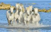 Futó fehér ló a Camargue