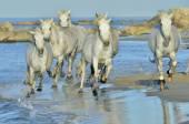 Ausführen von weißen Pferden