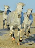 Futó lovak fehér