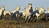 Ausführen von weißen Pferden der Camargue