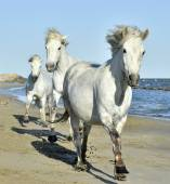 A fehér camargue lovak portréja