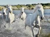 Herde von weißen Pferden laufen