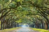 Země silnice lemovaná duby