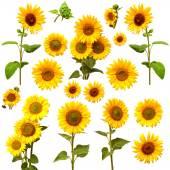 Yellow summer sunflowers