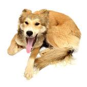Pes vrčí a štěká na bílém pozadí