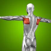 Conceptual  back human anatomy
