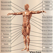 Mužské anatomie se svaly
