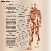 Anatomie svalů a textem
