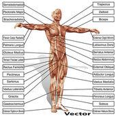 Anatomie člověka s svaly
