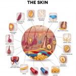 Постер, плакат: Skin anatomy