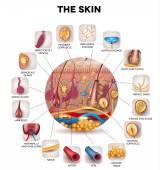 Bőr anatómiai