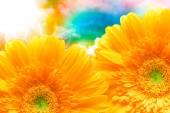 Gerber květina zblízka