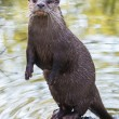 Постер, плакат: River otter in the lake