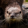 Постер, плакат: A curious river otter in the river