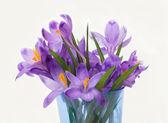 Crocus fialový jarní květiny