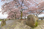 Cherry Blossom Trees with Large Rocks in Spring