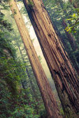 Grand Redwood Trees